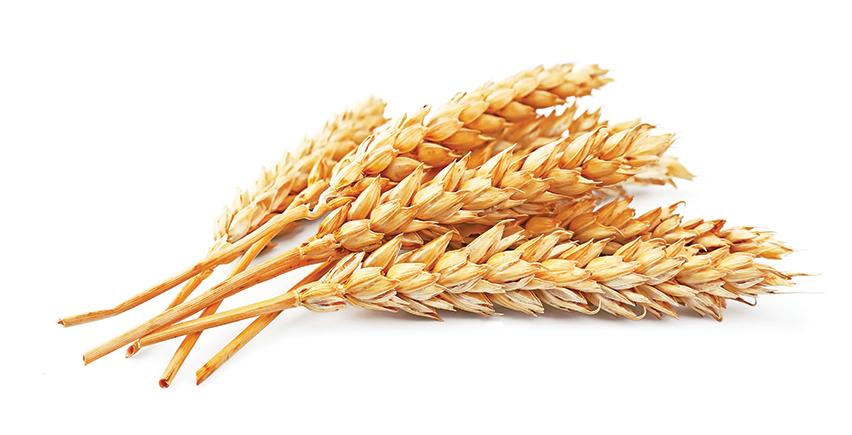 Wheat-and-coeliac-disease